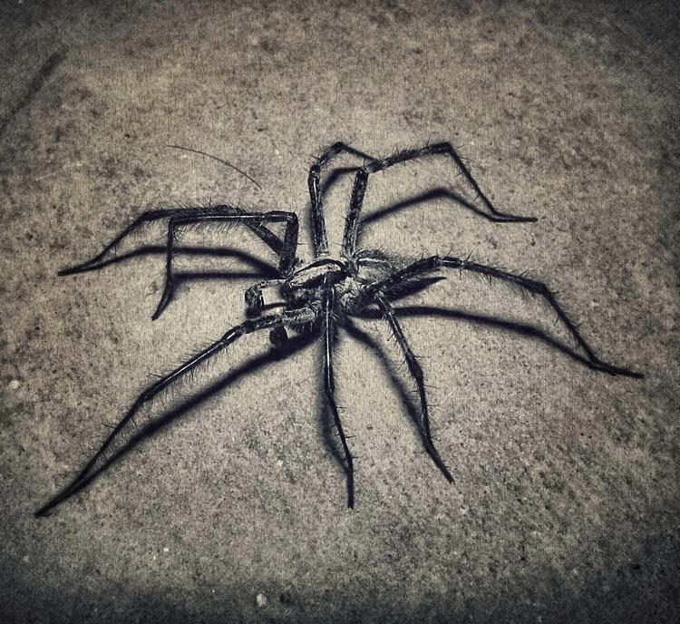 Wolf Spider - jasonlowder-project | ello