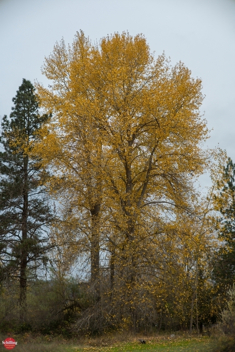 Populus Autumnae; Cantrall-Buck - augustschilling | ello