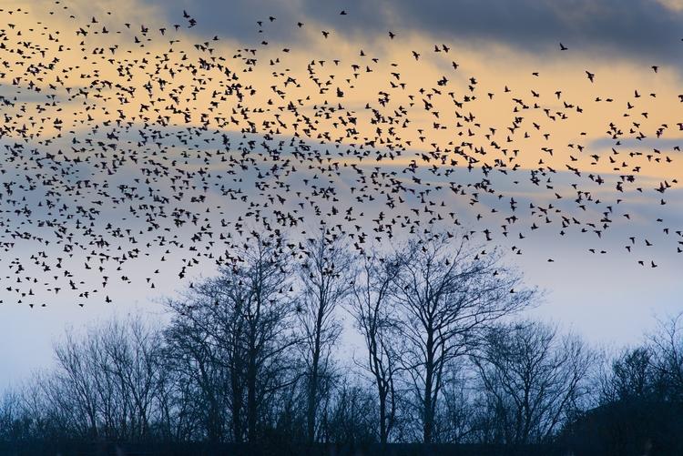 Starlings Leighton Moss - bradverts | ello