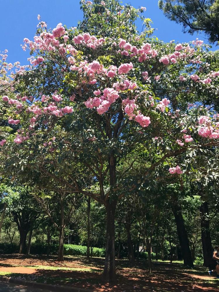 Os ipês-rosas (handroanthus imp - antoniomg | ello