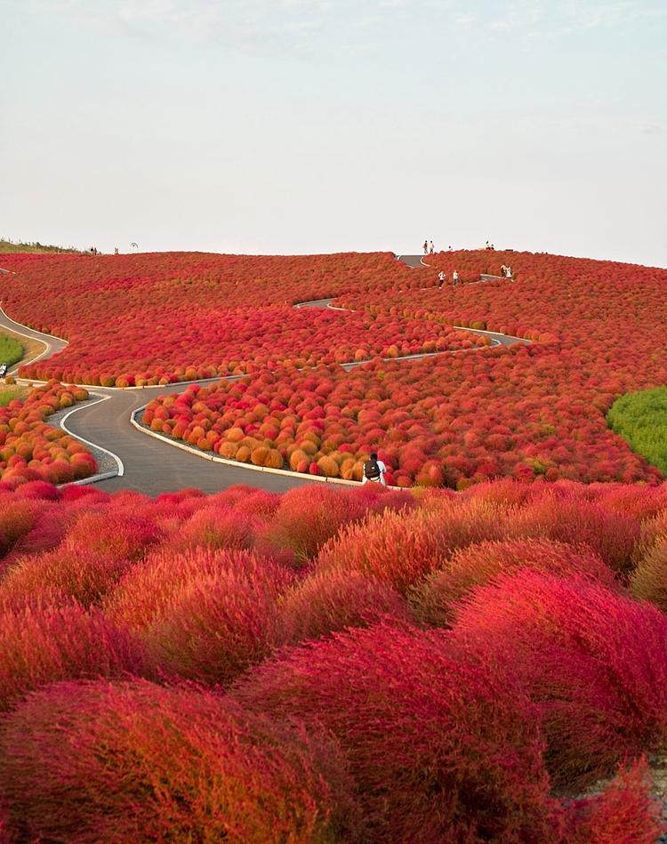 Hitachi Seaside Park, Japan - rutasdeviaje | ello