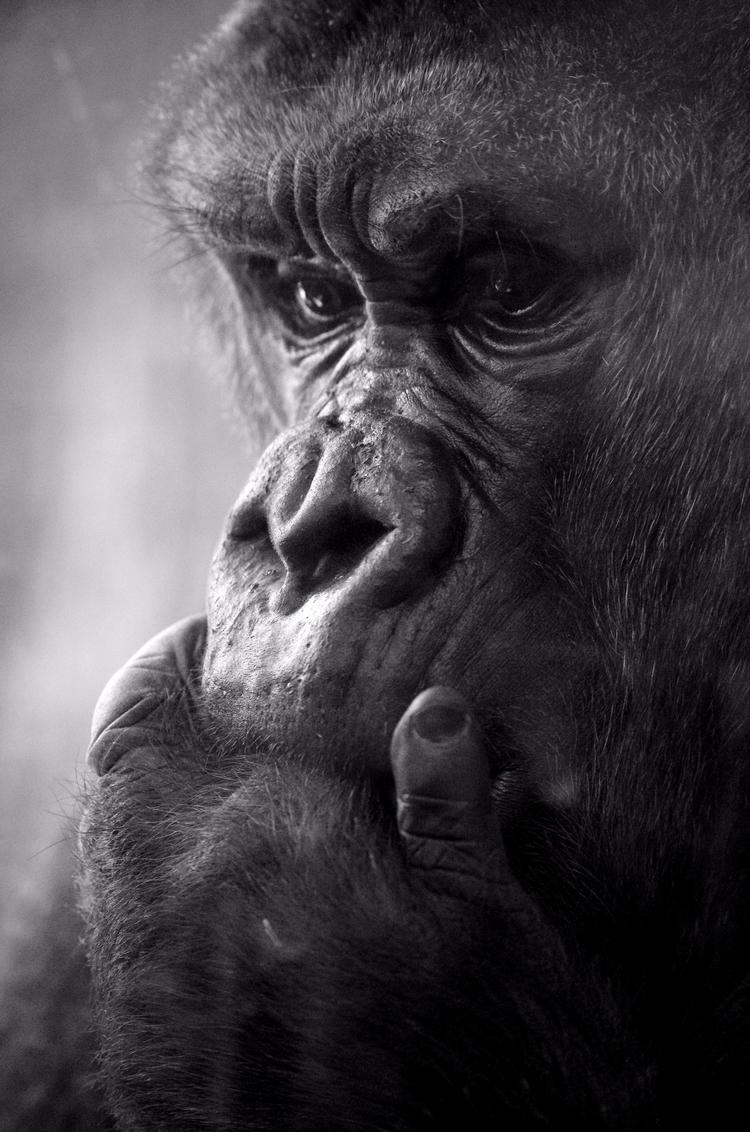 Lost thought - gorilla, zoos, photography - chetkresiak | ello