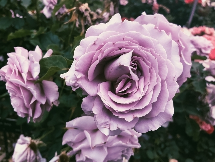paint roses purple - leahberman | ello