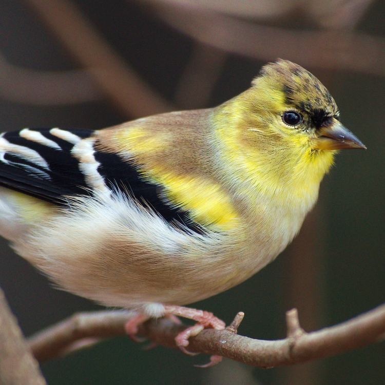 Goldfinch - bird, birds, goldfinch - chetkresiak | ello