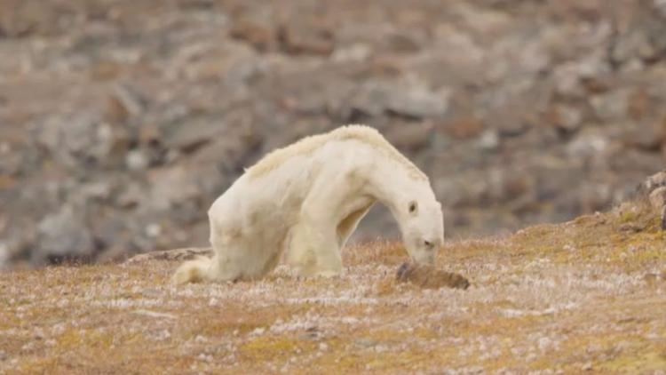 Este vídeo de oso polar hambien - codigooculto | ello