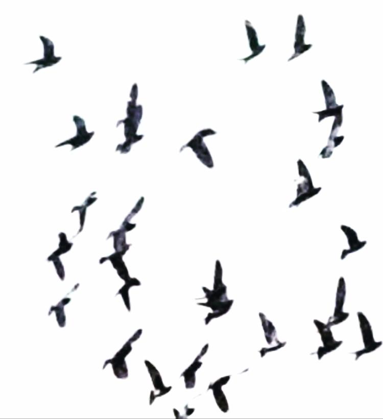 Pigeons - sanstitle | ello