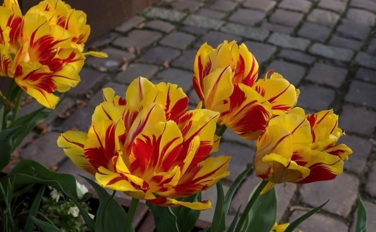 10 avril 2017, les tulipes dans - gclavet | ello
