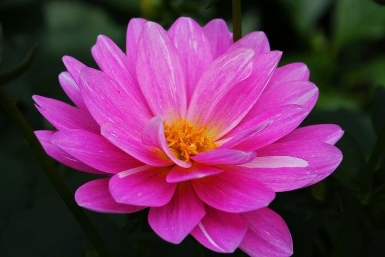Photography - flowers, pink - nannithfajilan | ello