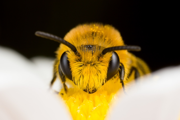 Macro - macro, bee, nature, bug - ruut103 | ello
