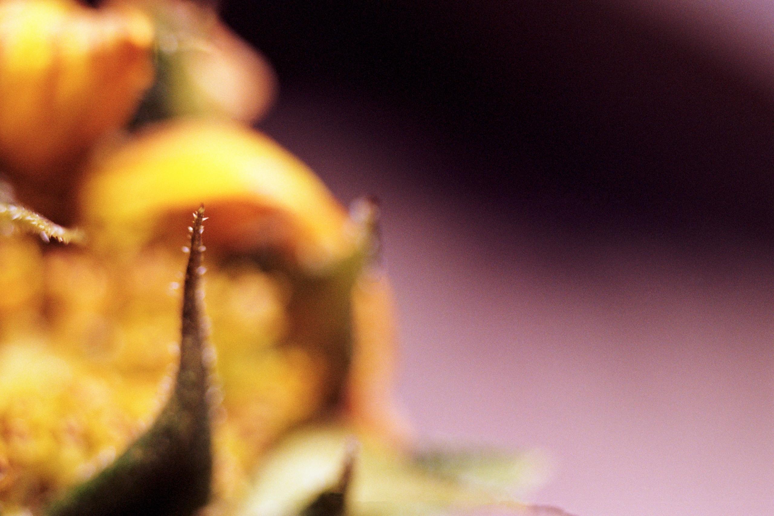 Macro view unfurling bud Sunflo - dropshot | ello