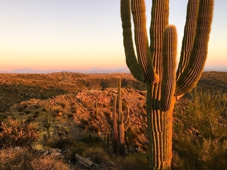 saguaro, desert, ARIZONA, Phoenix - johnsilenth | ello