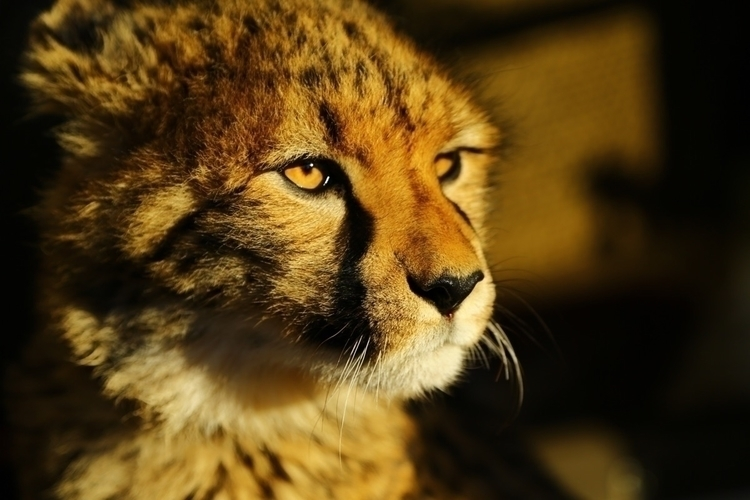 Young Cheetah watching sunset.  - justphotosofmine   ello