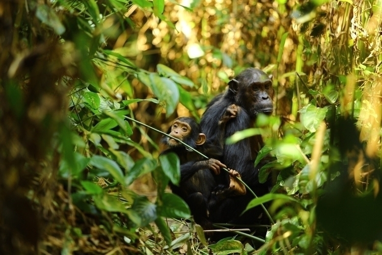Chimpanzee tracking Tanzania lu - justphotosofmine | ello