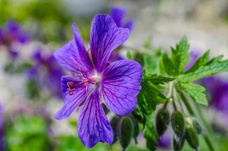 Geranium Catching Sun - geranium - marcuswilsonculley | ello