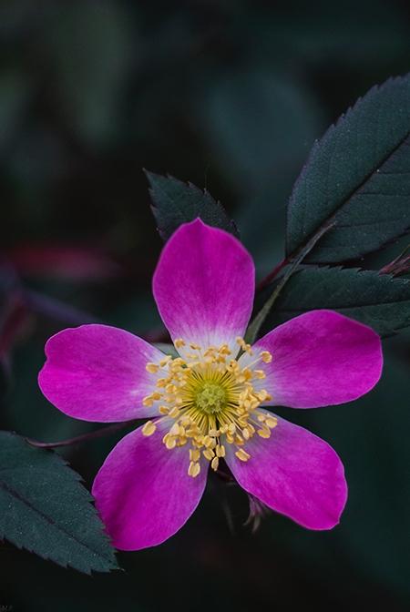 rose - melissapelkey | ello