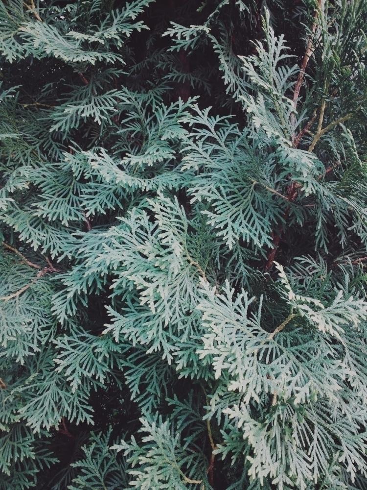 Thuja - thuja, plant, tree, botanical - andreigrigorev | ello