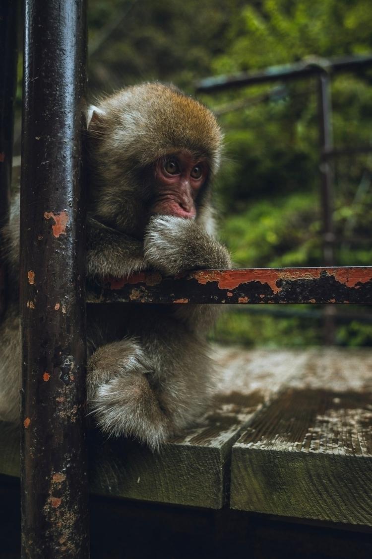 Snow Monkey - monkey, japan, snowmonkey - kylemurphy | ello