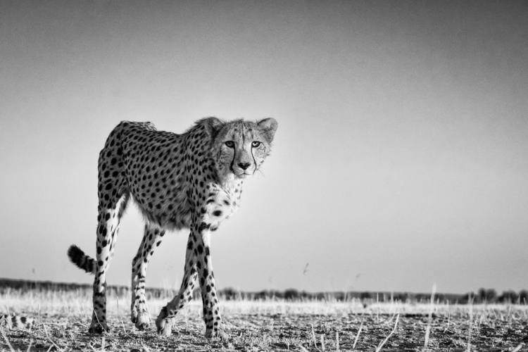 laying ground cheetah approache - jeffreyvandaele | ello