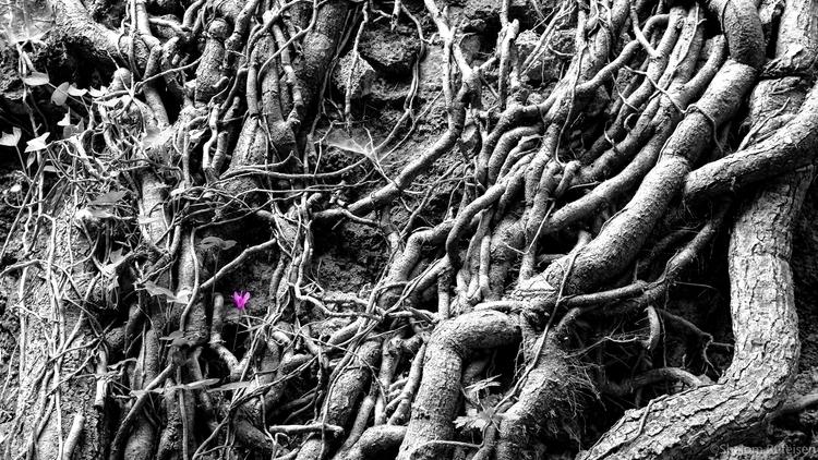 Purple Cyclamen proudly grows i - shutterstalk | ello