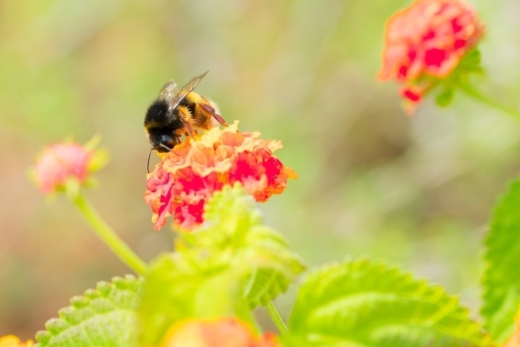 Bumble Bee - Italy Macro Series - jer1my | ello