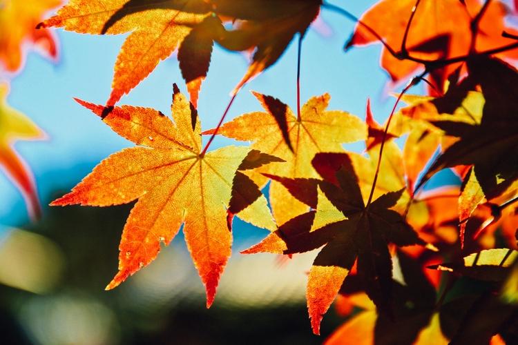 Japanese maple season Kyoto - terence223 | ello