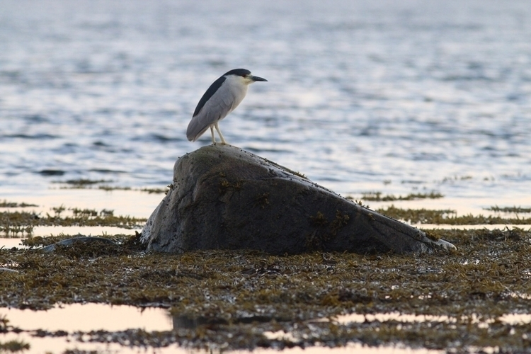 Black crowned-night heron - zacapture | ello