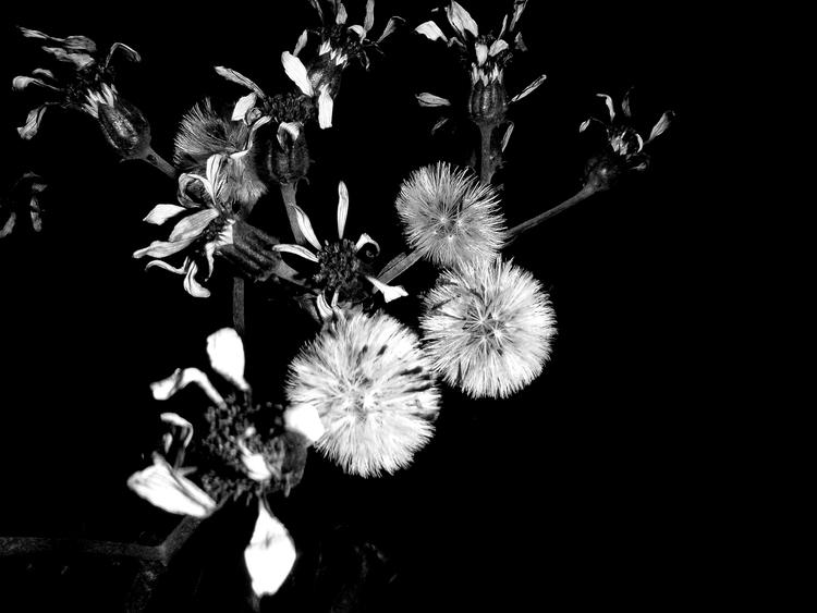 BW, Pflanzen, monochrom - claudiastamm   ello