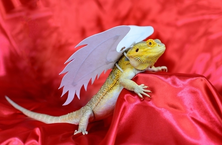 Bearded Dragon angle wings red  - eevul | ello