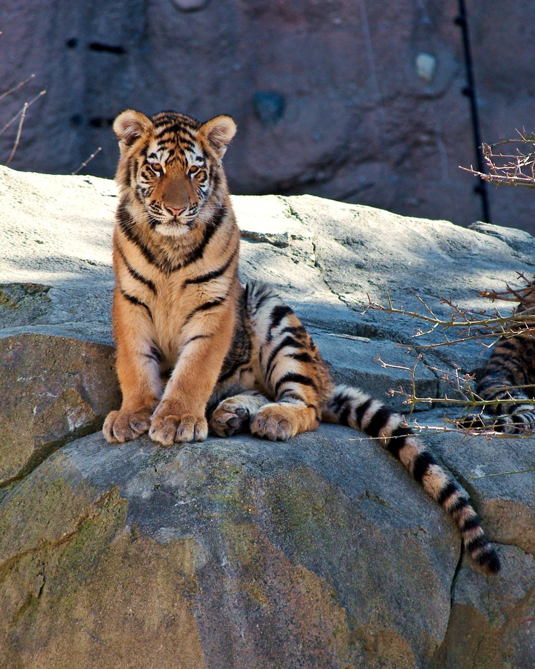 Amur tiger cub, Columbus Zoo - photography@animals - chetkresiak | ello
