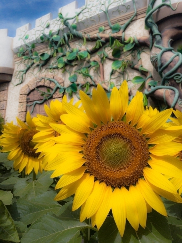IPhone 6s Photography - photo, sunflower - leinelltamisin | ello