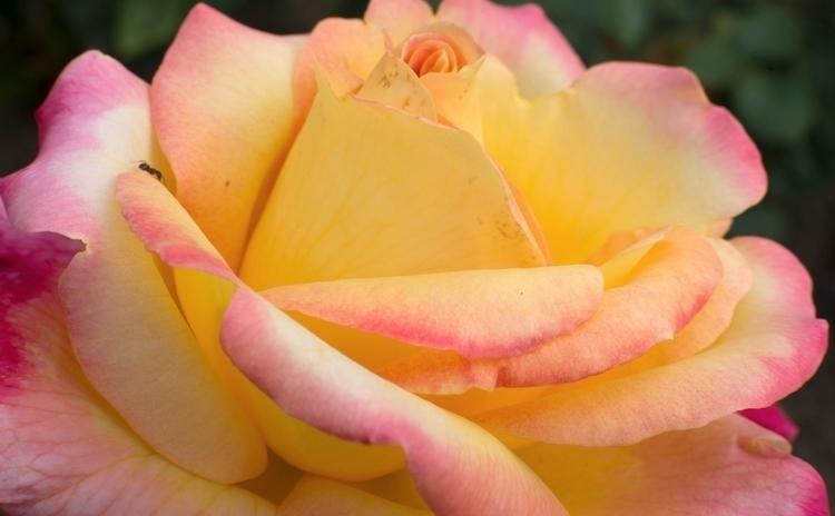 Kyrielle de roses au jardin des - gclavet | ello