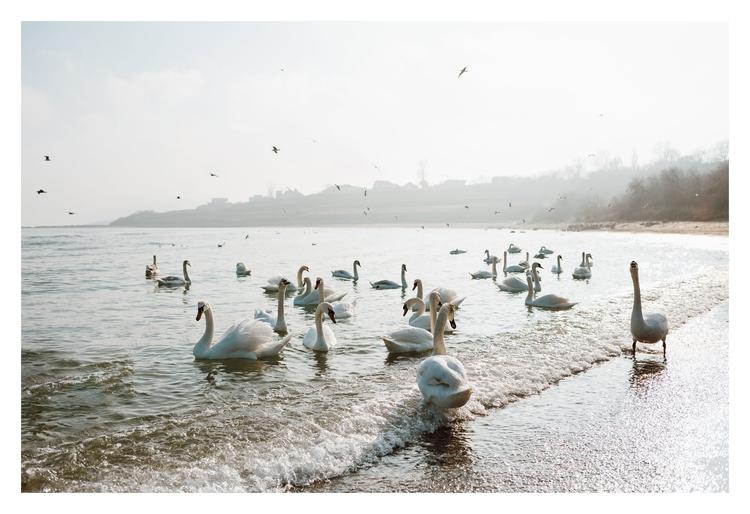 Swan Sea - alexandrumituphoto | ello