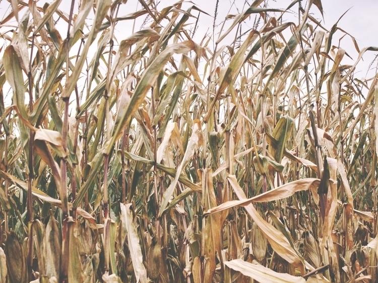 Corn Field - cornfield, photography - kcirwerdna | ello