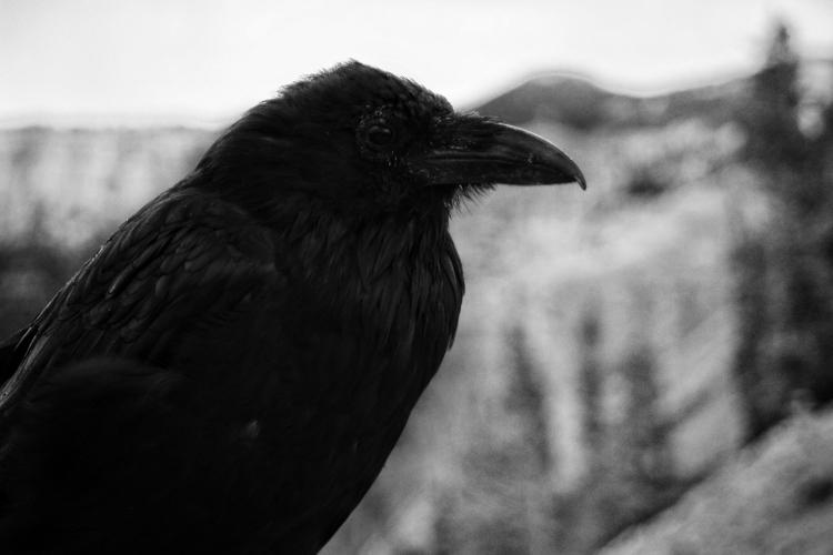 Crow - bellatorfox | ello