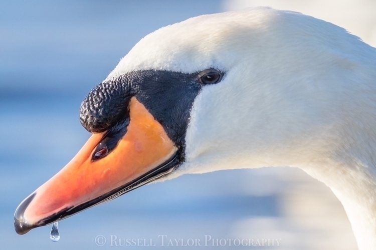 Swan portraits , lough Ennell I - russelltaylorphotography | ello