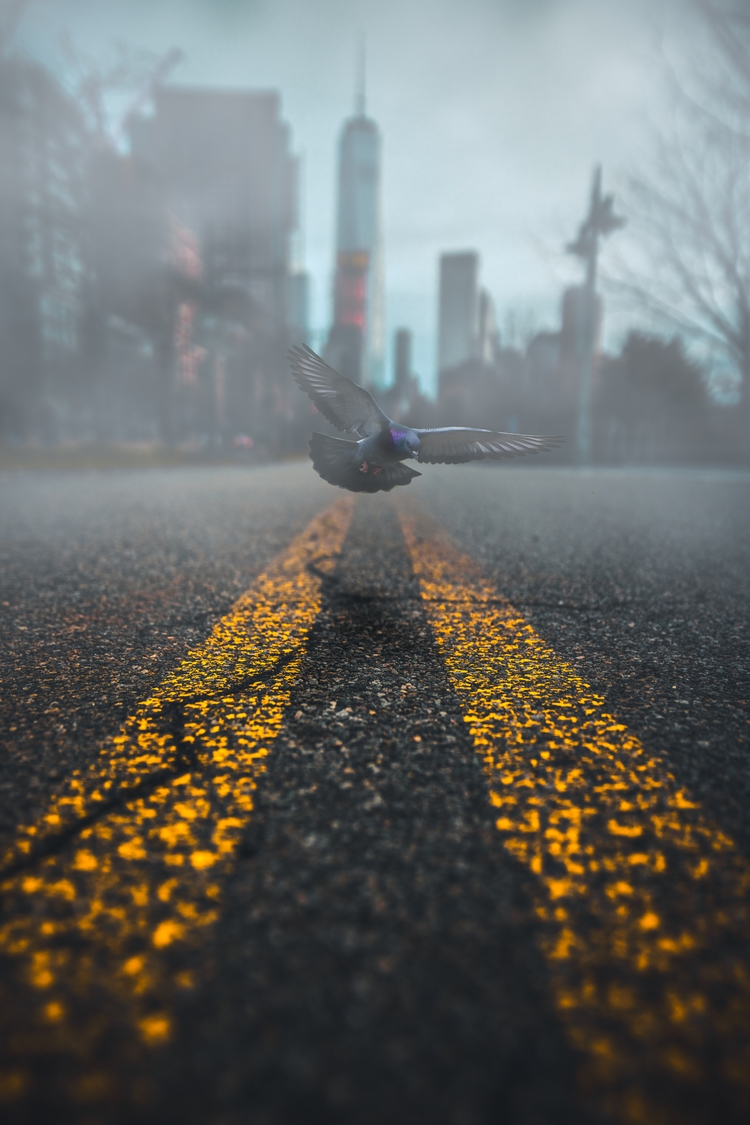 Fly free limits - pigeon, nyc, photoshop - veric | ello