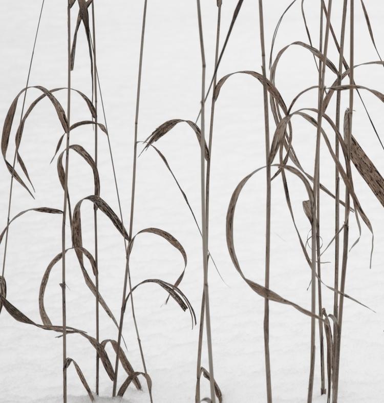 Grasses Snow Blinding colour ve - junwin | ello