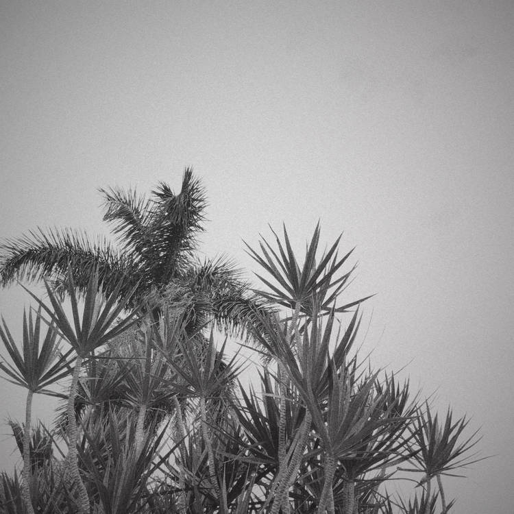 Overcast Afternoon Palm Tree Ap - mikefl99 | ello