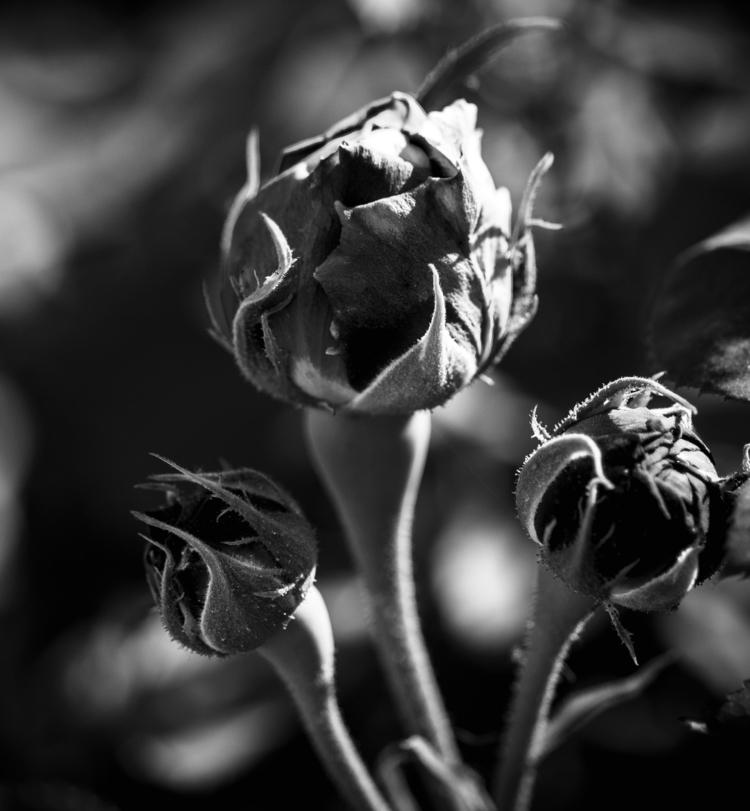 Life Blooming - blackandwhite, flowers - fadi_h | ello