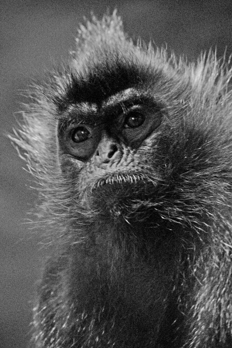 Langur monkey - photography, blackandwhite - chetkresiak | ello