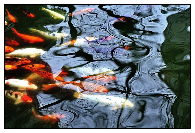 ICTUS - carpas, fish, peixe, pescado - jsuassuna | ello