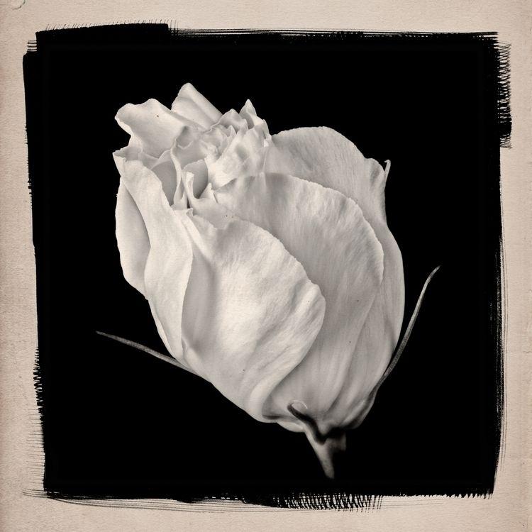Lisianthus flower bud photograp - patrickchuprina | ello