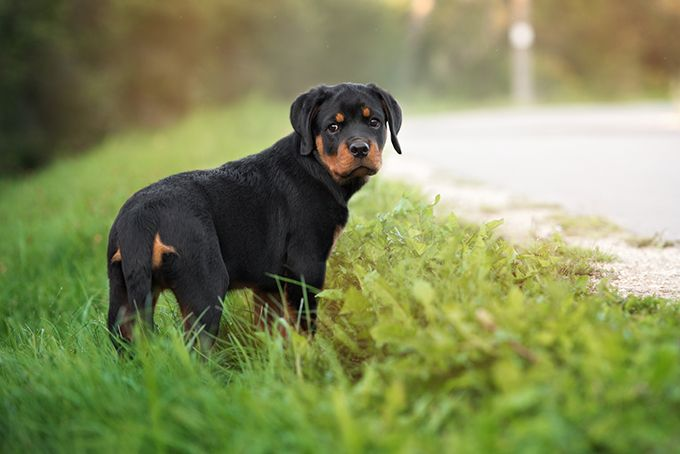 Find genuinely priced Rottweile - kingrottweilers | ello