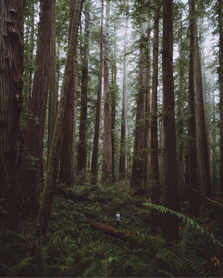Big trees, small human - redwoodstatepark - joeymaclennan | ello