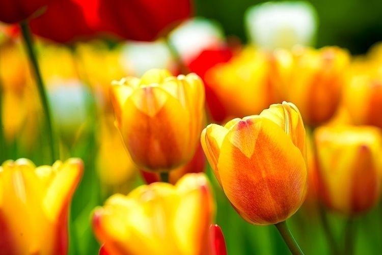 Tulips - Spring 2017 Ottawa - tulip - marcus_f | ello