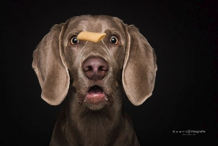 Dog, catchit, Weimaraner, catching - ewert_fotografie | ello