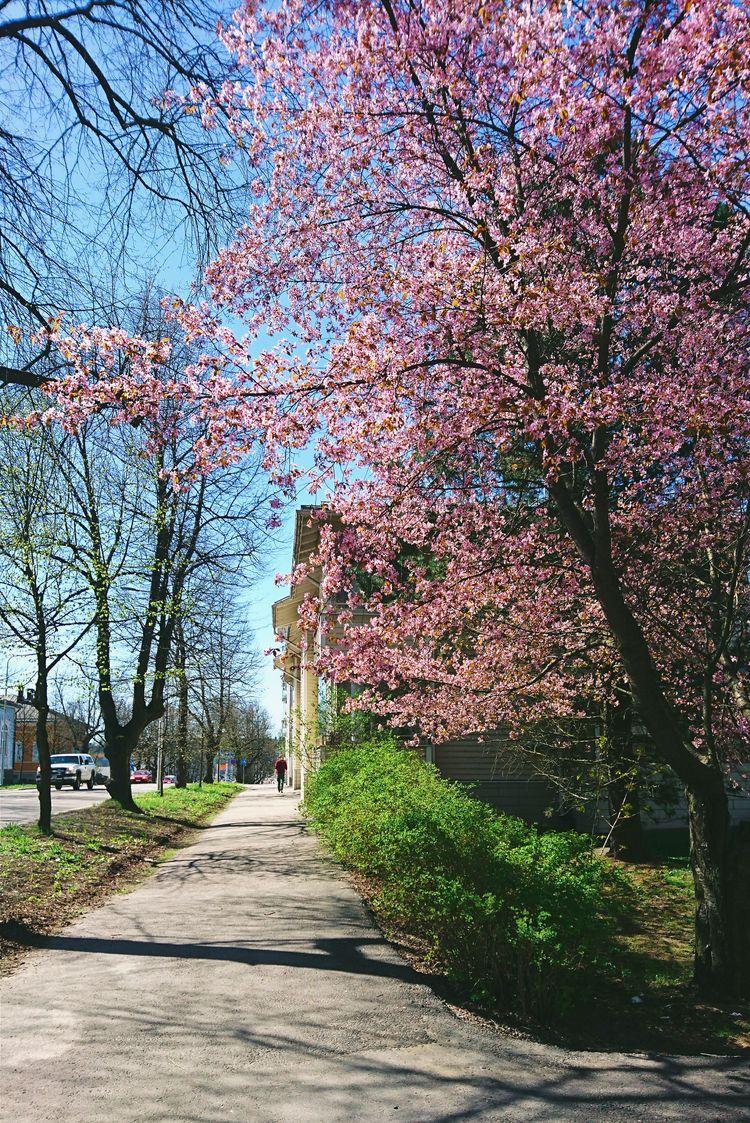 cherry, spring, tree, porvoo - themoonlitroad | ello