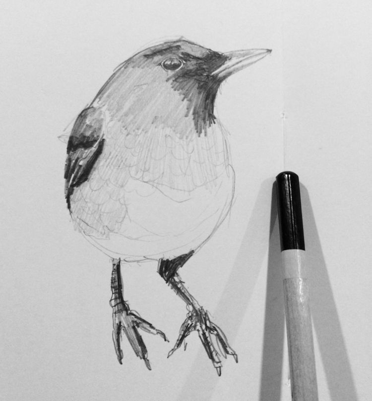 Pretty bird! TURDUS MERULA  - drawing - sofiasantos | ello