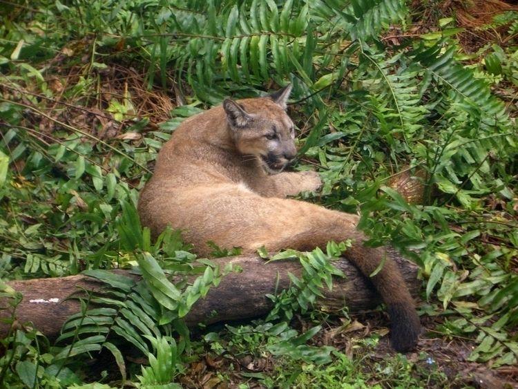 Athena, rescued Florida Panther - douglascraig | ello