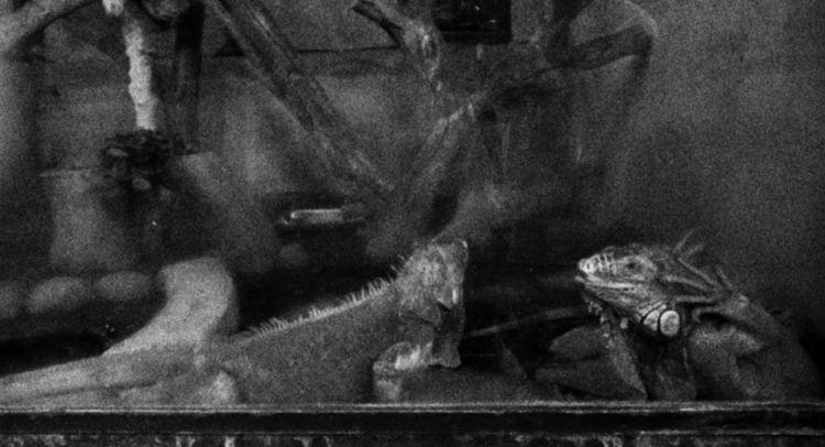 TODAY - iguanas, blackandwhite, photo - uvha | ello